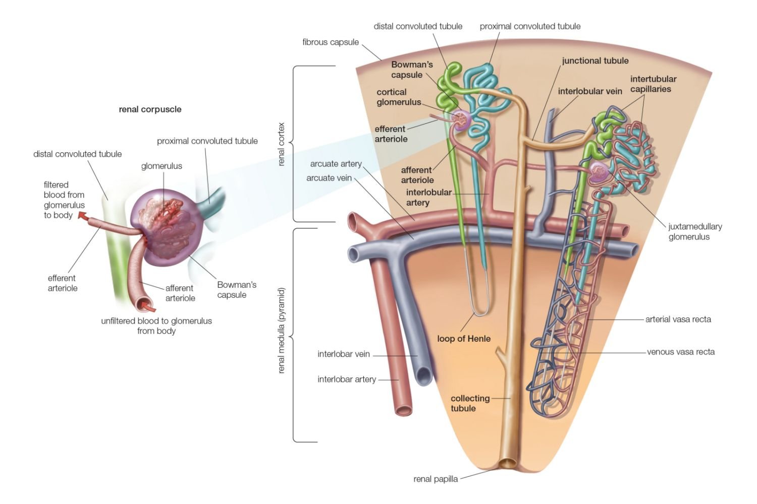 Kidney Anatomy Definition Function