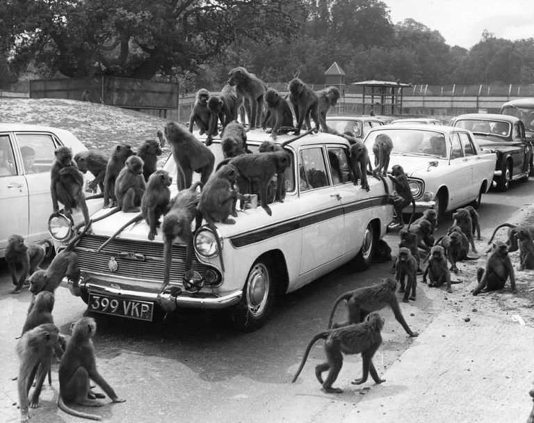 A group of baboons swarms over as car.