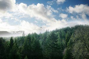 Forest of Douglas Fir Trees