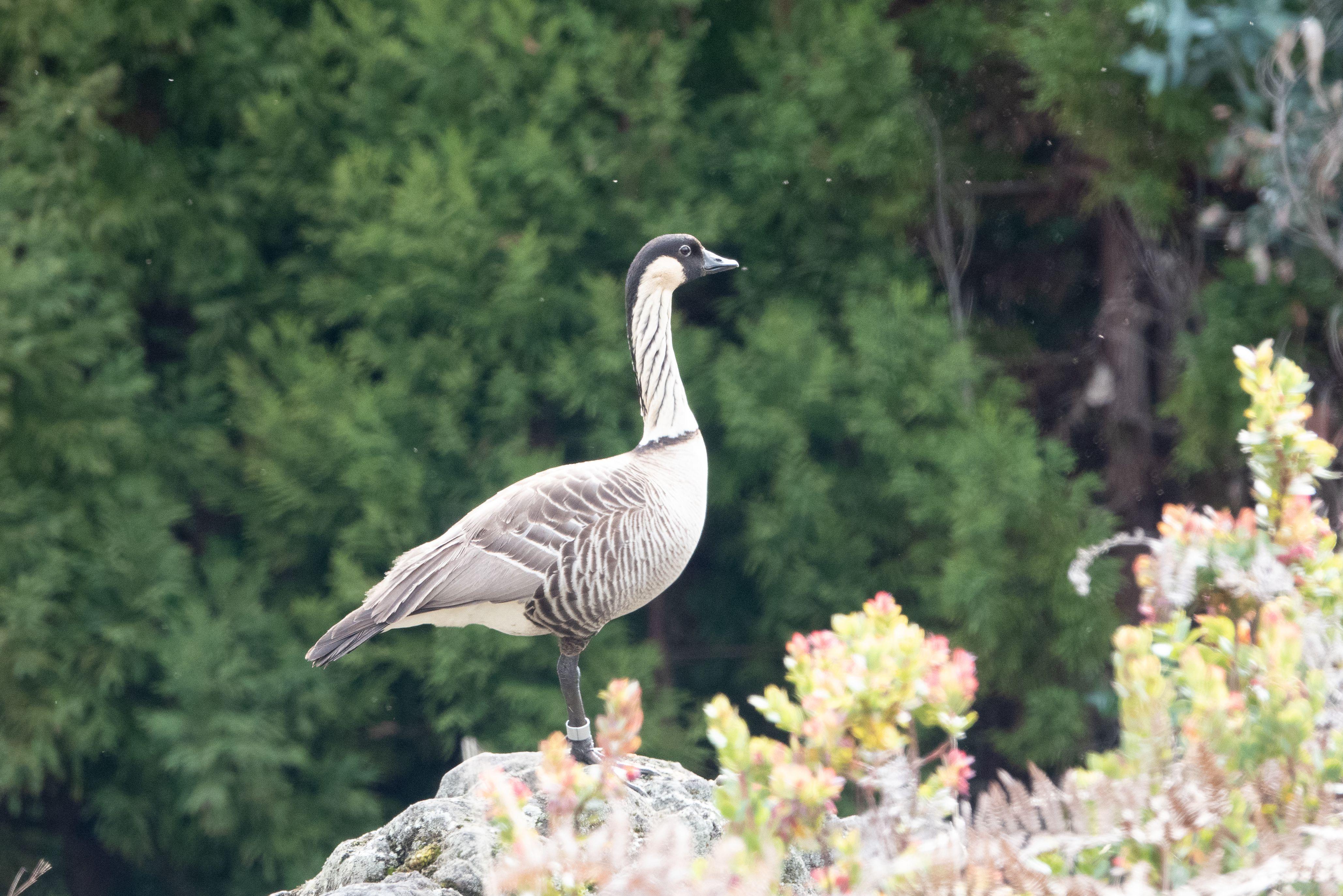 Nene goose in profile sitting on a rock.
