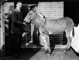Zedonk, a hybrid of zebra and donkey