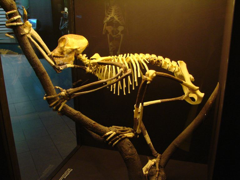 Proconsul skeleton reconstruction