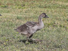 nene goose in hawaii