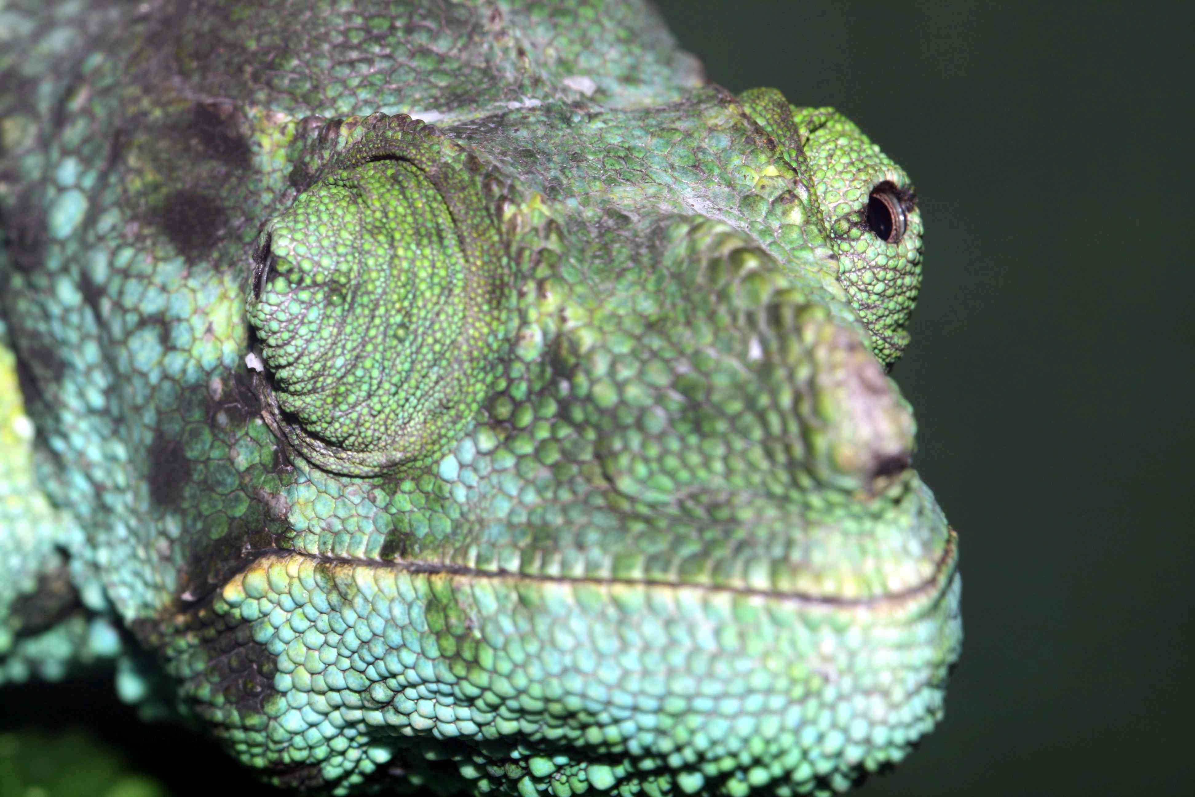 A chameleon with each focused in a different direction