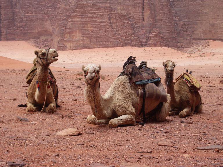 Dromedaries in Wadi Rum, Jordan