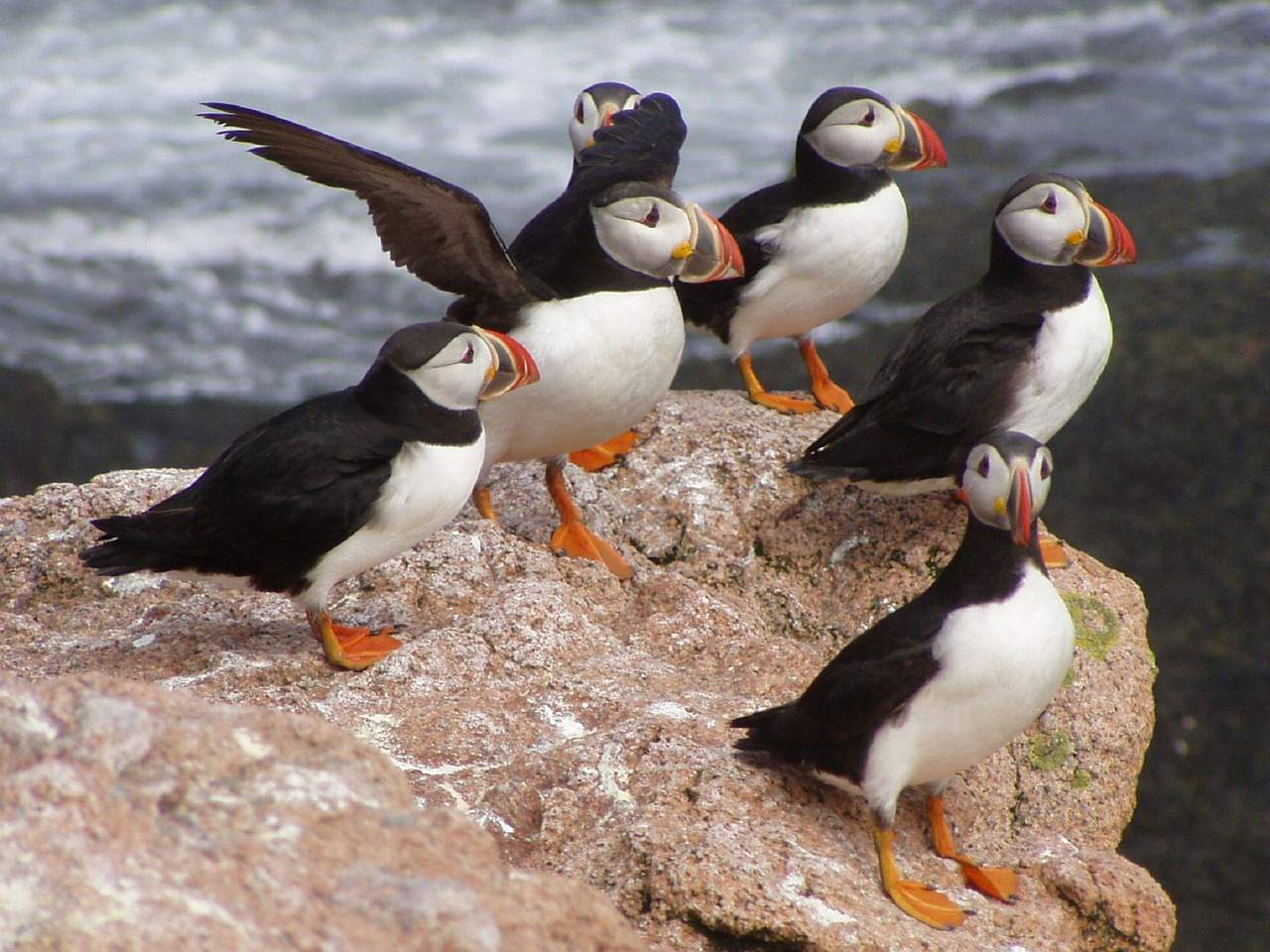 Several Atlantic puffins resting on a rock.