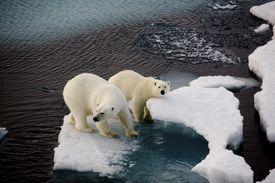 Two polar bears on a small ice floe