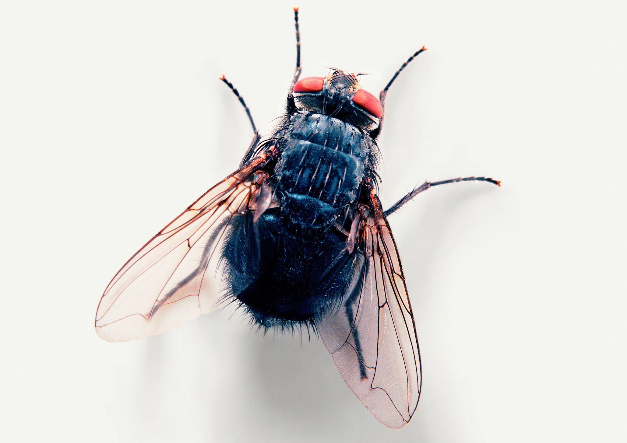10 Fascinating Facts About House Flies