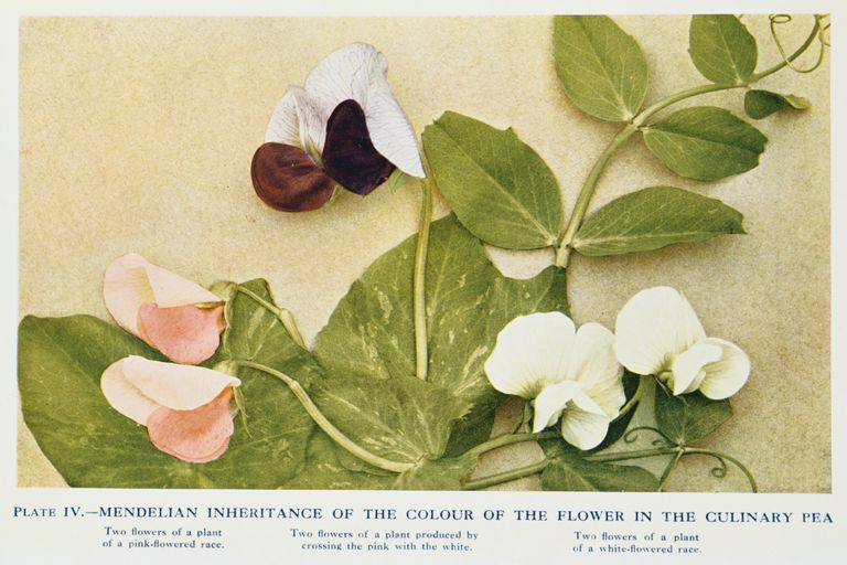 Mendelian inheritance of flower color in the culinary pea, 1912.