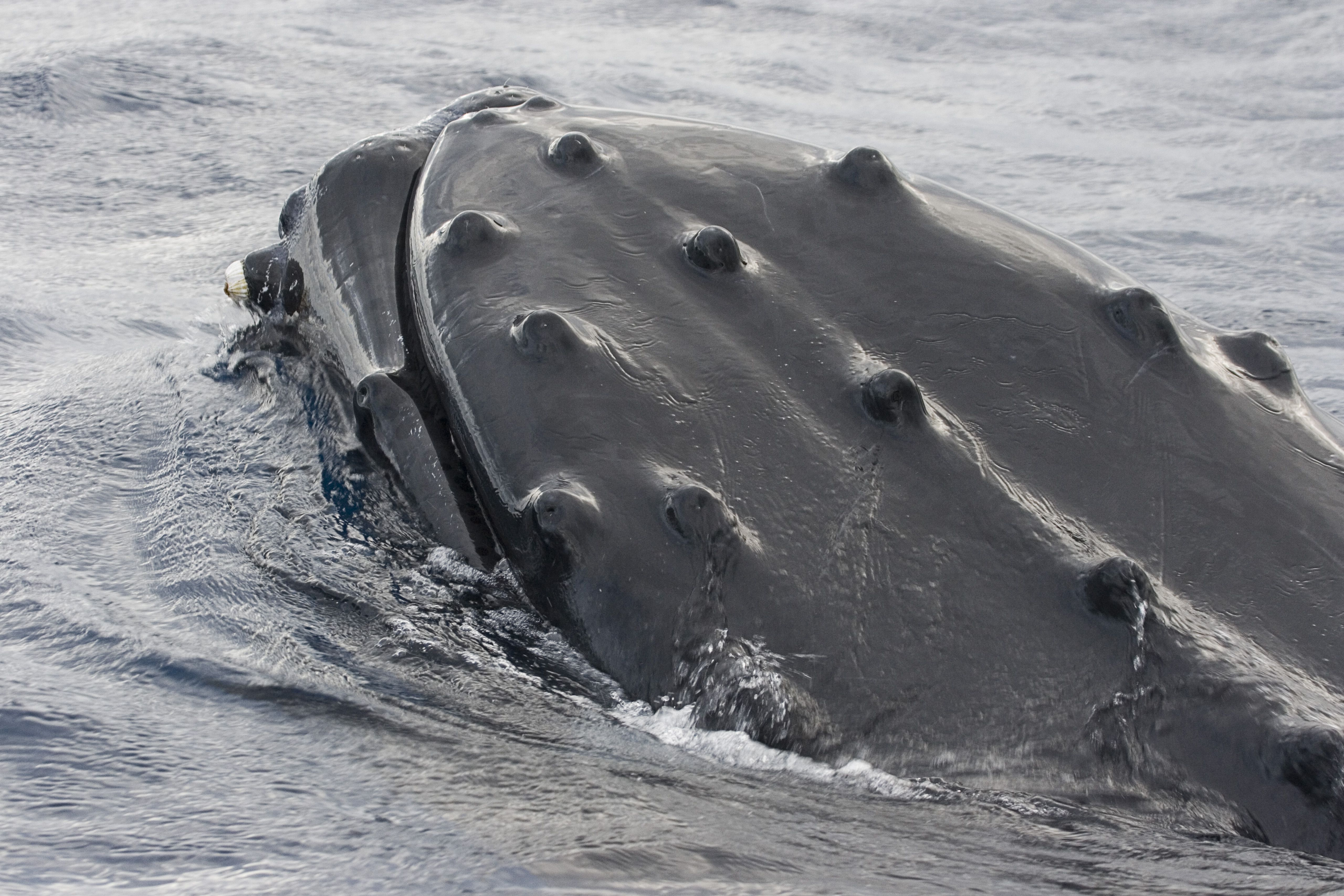 Humpback whales are the only whales with tubercles.