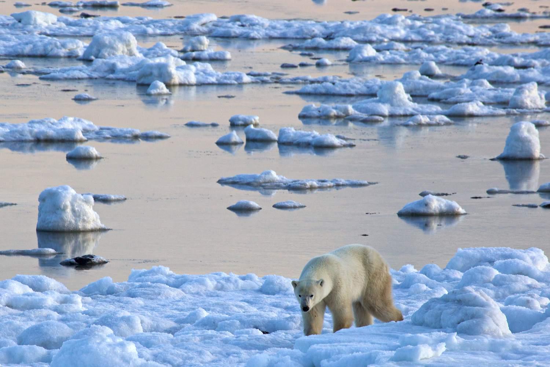 Polar bear along the edge of Hudson Bay