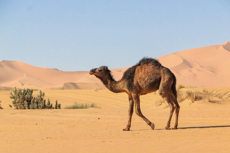 Camel Facts: Habitat, Behavior, Diet