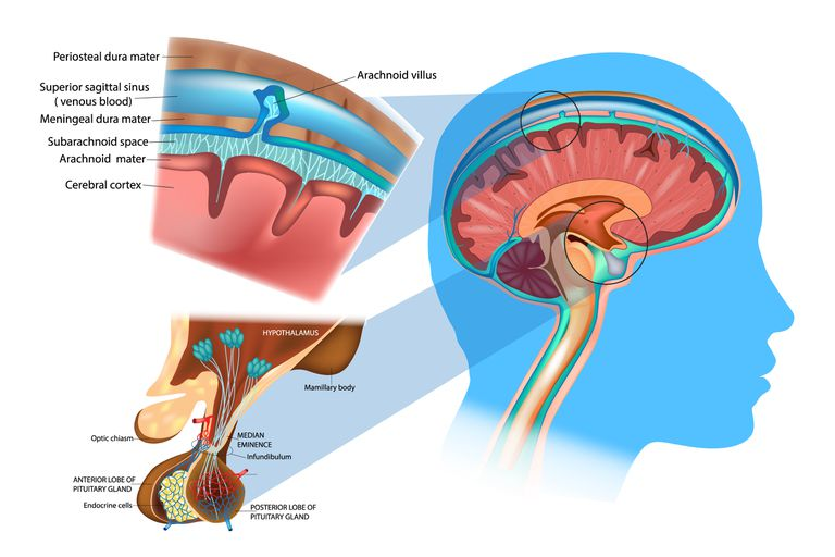 Anatomy of the Brain: Meninges, Hypothalamus and Anterior Pituitary.