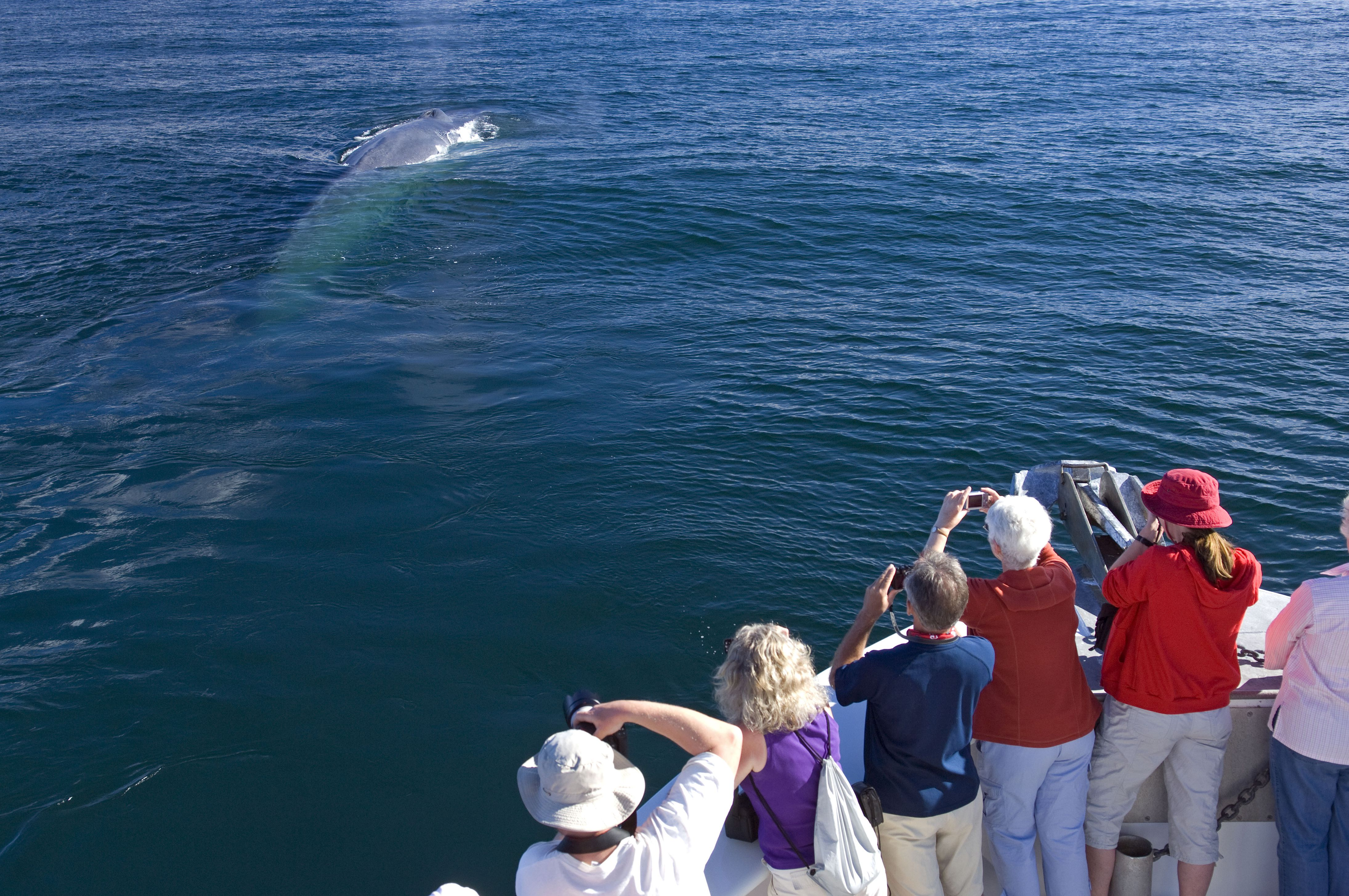 Whale watching tour and a blue whale