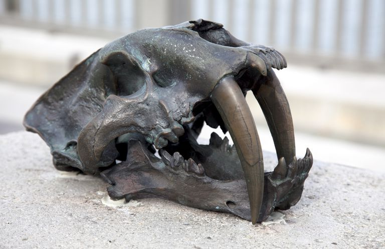 Skull of a saber-tooth tiger