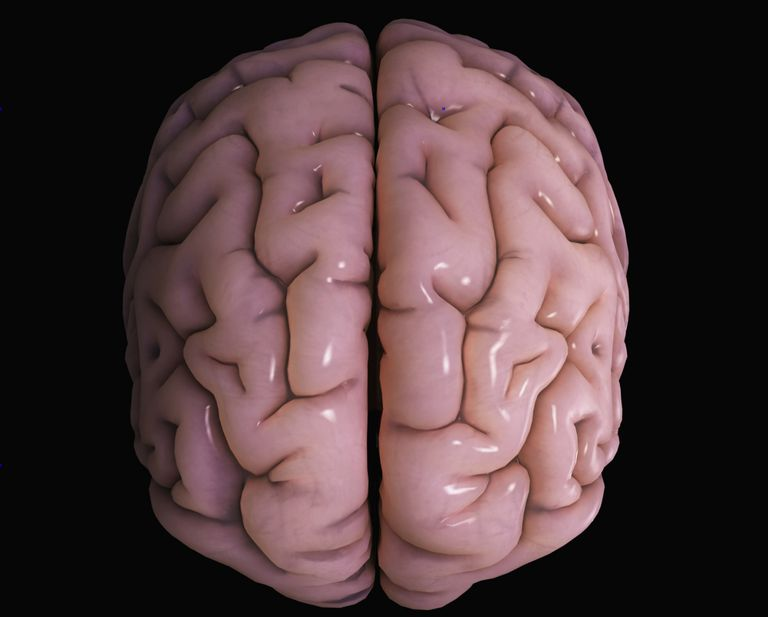 A model of the human brain, showing the cerebral cortex.