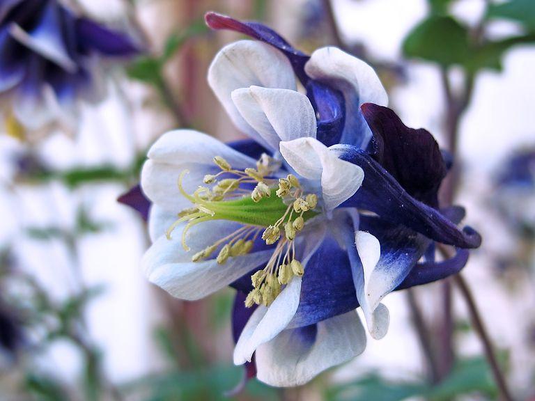 bluish flower