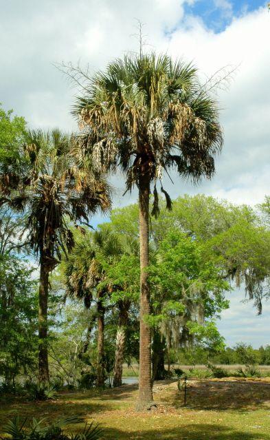 Sabal Palm A Favorite Tree Of South Carolina And Florida