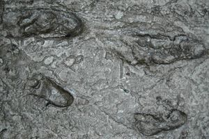 Laetoli Footprints - Reproduction at the Field Museum, Chicago