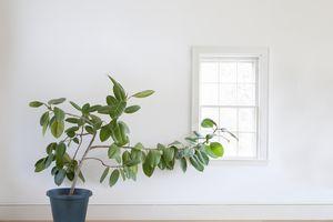 Rubber plant growing toward window