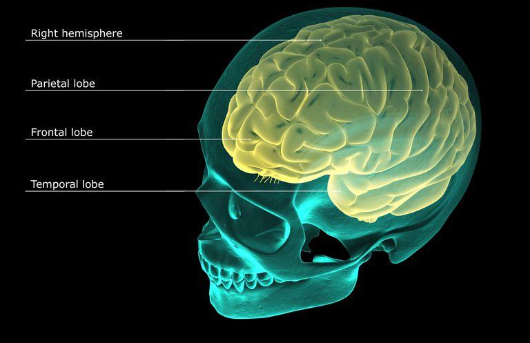 3D diagram of the brain