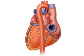 Human Heart Posterior View