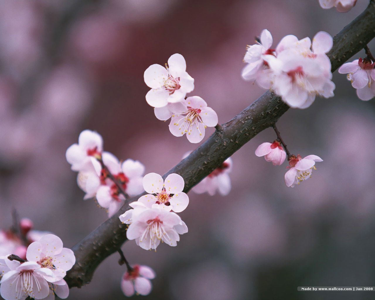 Japanese cherry blossoms on a branch