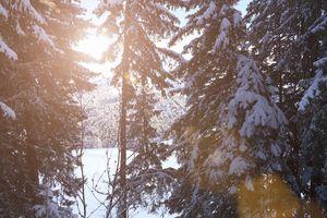 Sunburst through snow-covered trees
