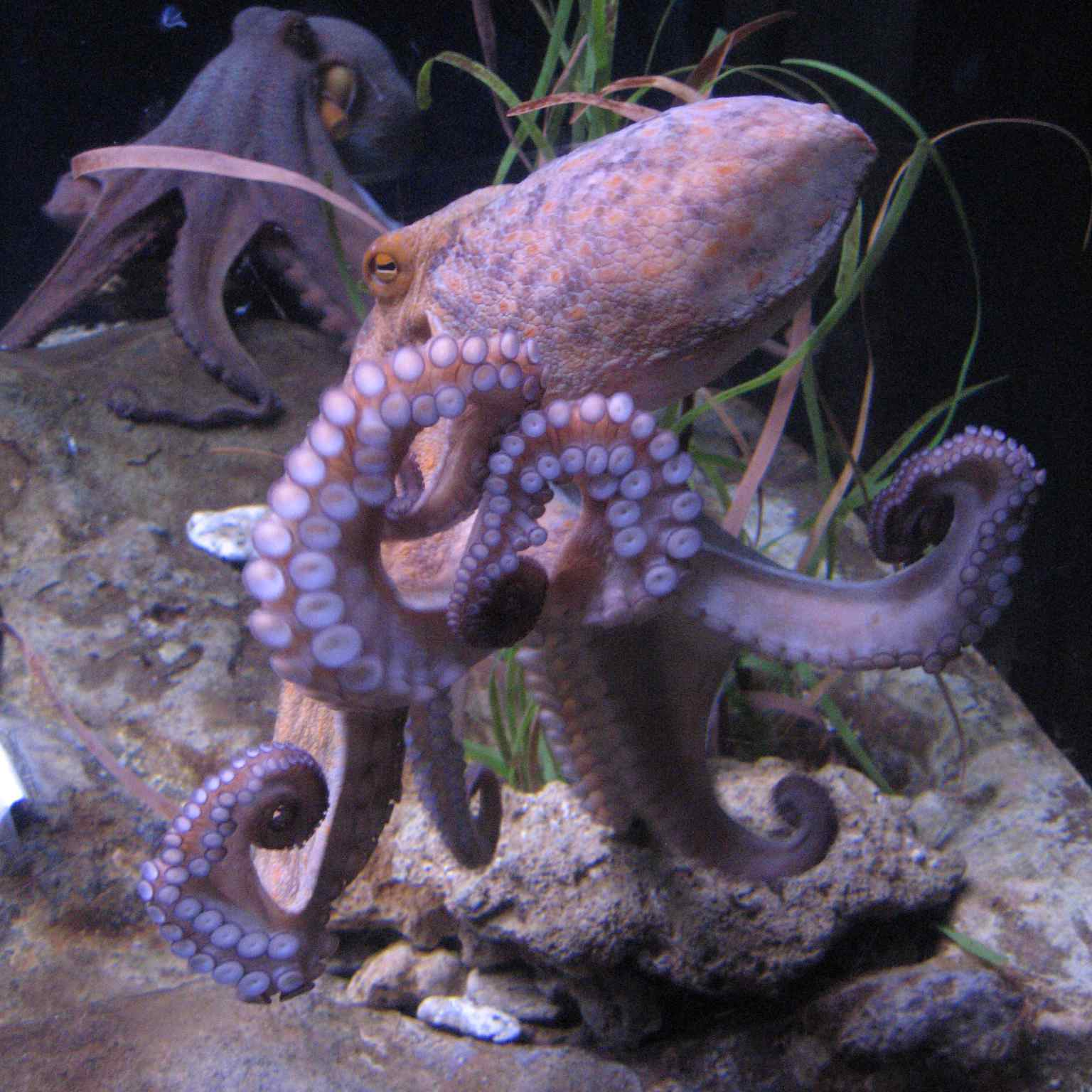 fascinating facts about octopus tentacles and ink