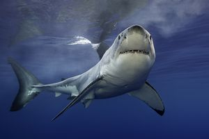 Great white shark near surface of the ocean looking toward the camera