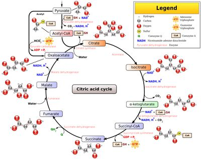 do you know why the krebs cycle is called a cycle?