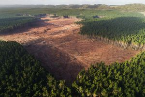 Aerial view of trees being cut down in a pine forest
