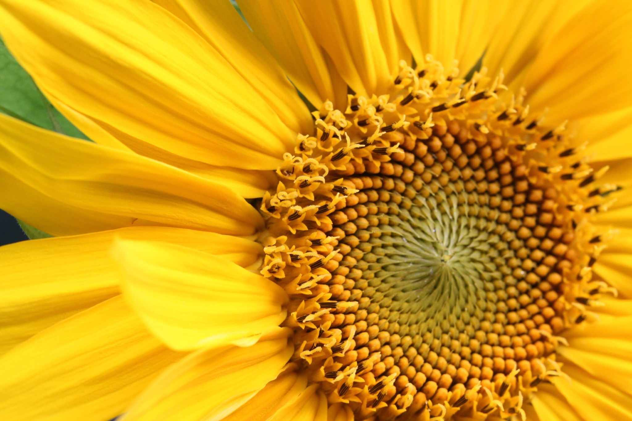 Sunflower Magic Legends And Folklore