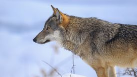 Close-Up Of Wolf Against Sky