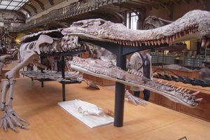 The bones of <i>Sarcosuchus</i>, a model at the French National Museum of Natural History in Paris