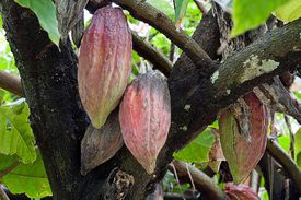 Chocolate is the end result of harvesting and processing cocoa beans, which grow inside cocoa pods.