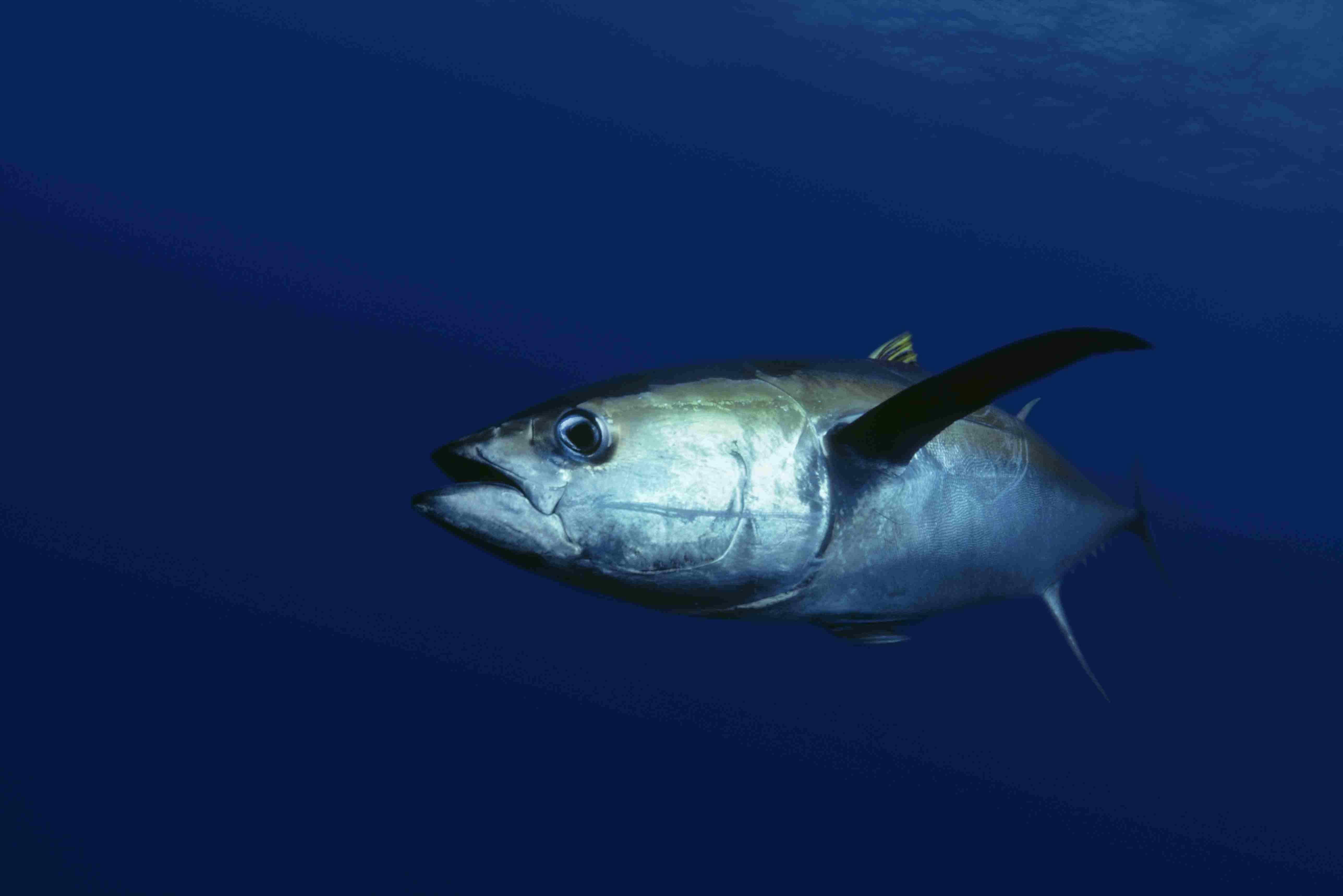 Yellowfin tuna serving side eye in dark blue