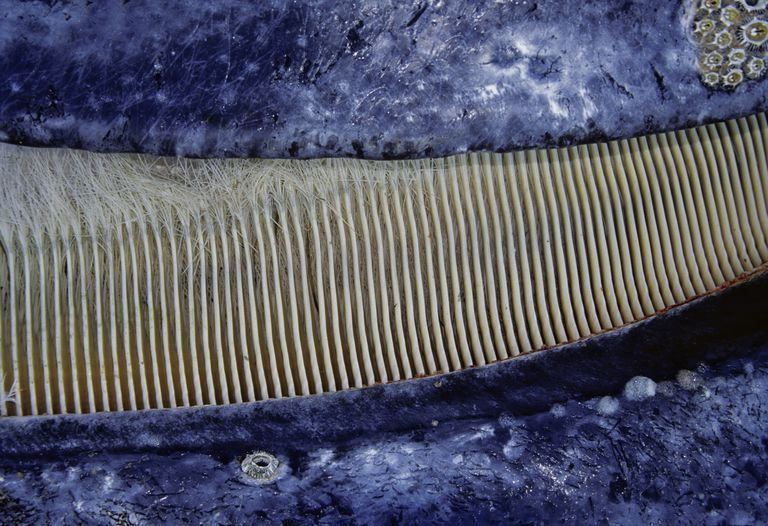 Close look at the baleen of a gray whale