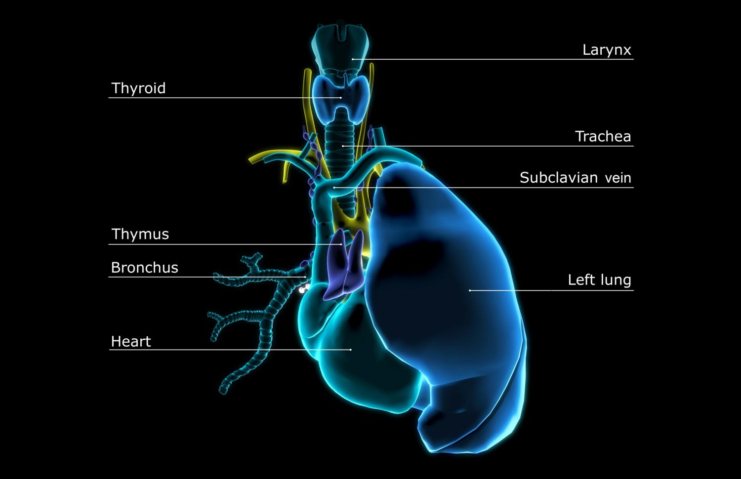 Learn About The Thymus Gland