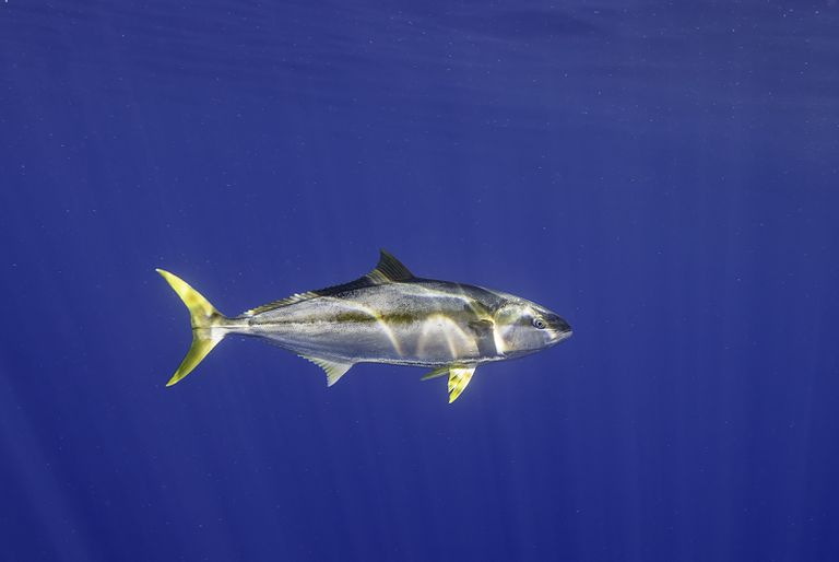 The yellowfin tuna takes its common name from its bright yellow tail and fins.