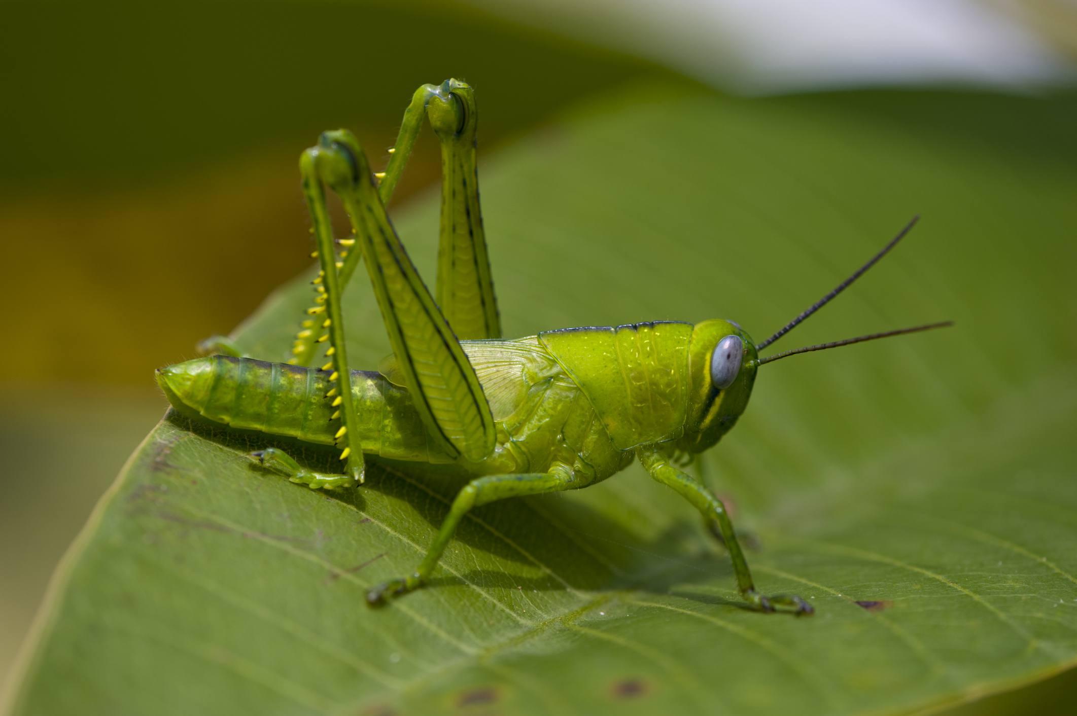 Grasshopper on leaf.