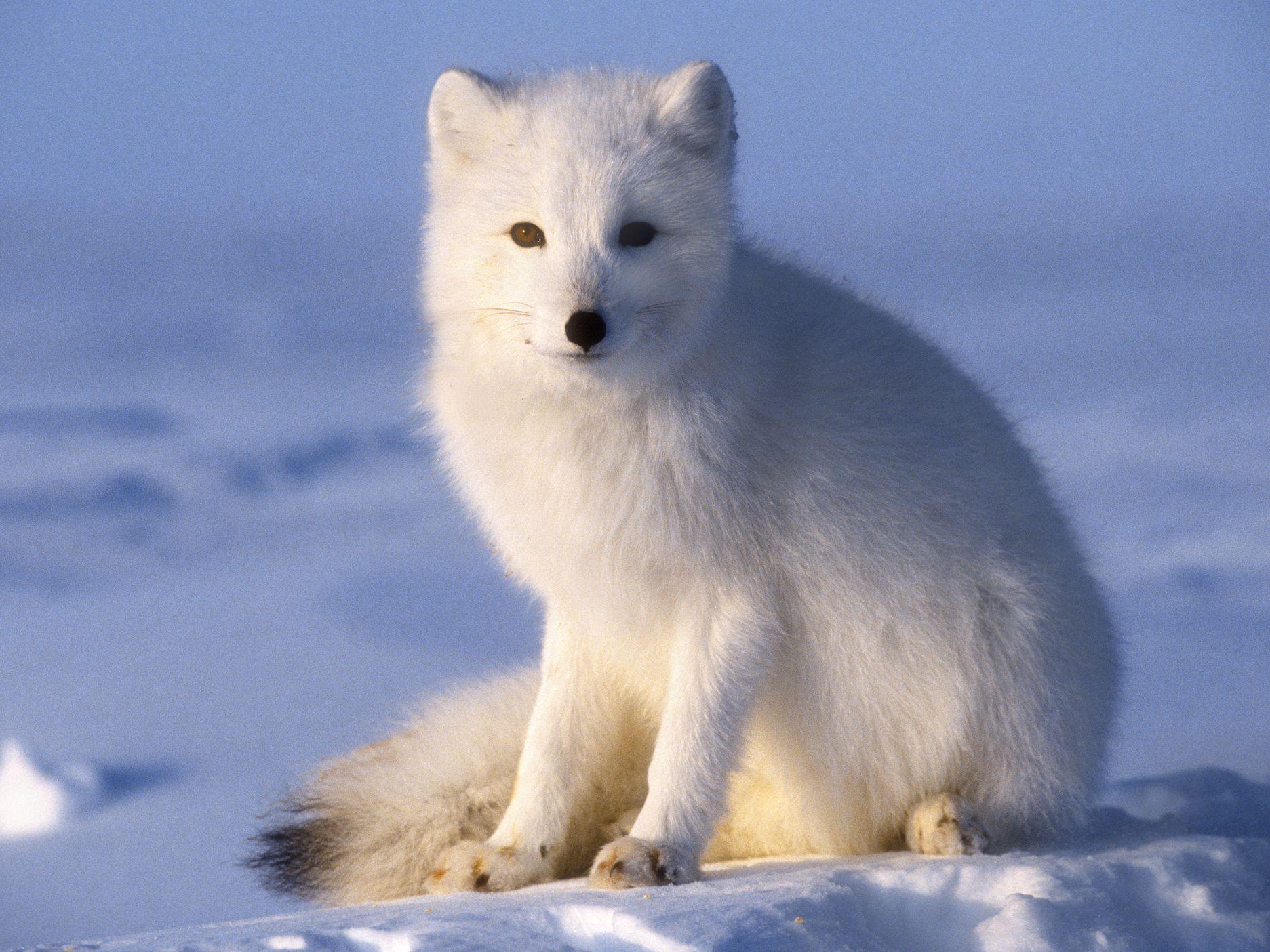 Arctic Fox Facts (Vulpes lagopus)