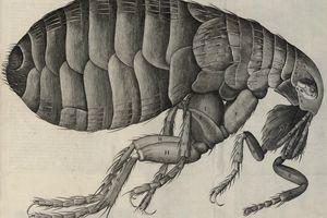 Drawing of a flea