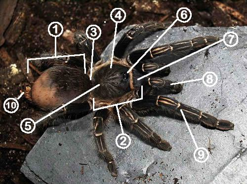 The basic external anatomy of a tarantula.