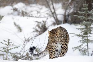 Amur Leopard walking in a snowy environment