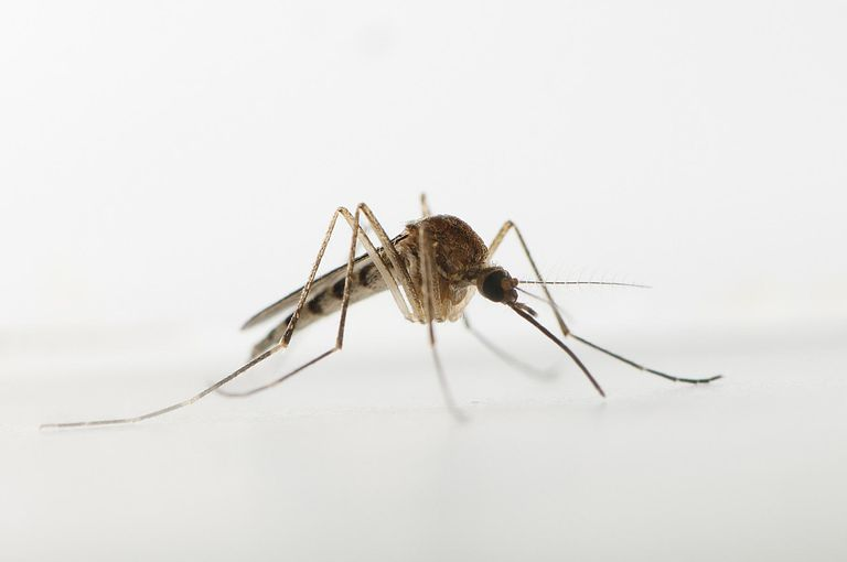 Life Blood Mosquito Totem Douglas Allen Getty Images