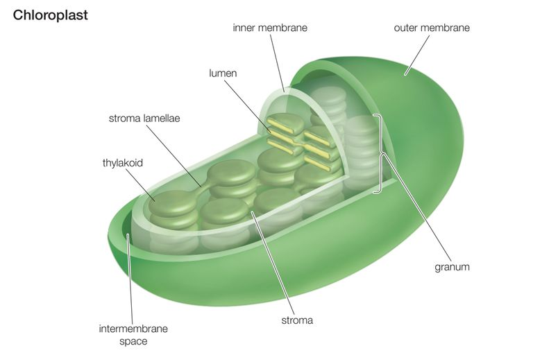 Chloroplast Function In Photosynthesis