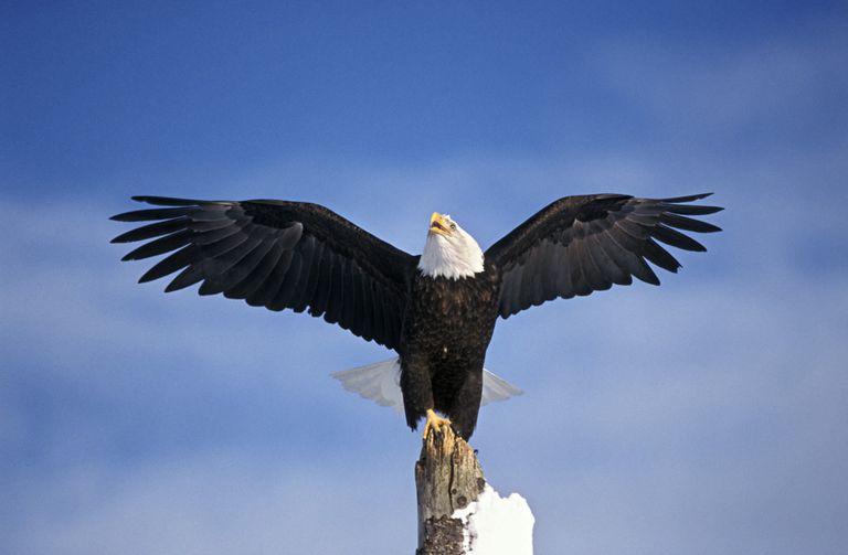 Bald eagle spreading its wings in Alaska