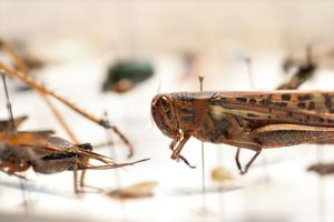 Grasshopper in bug collection.