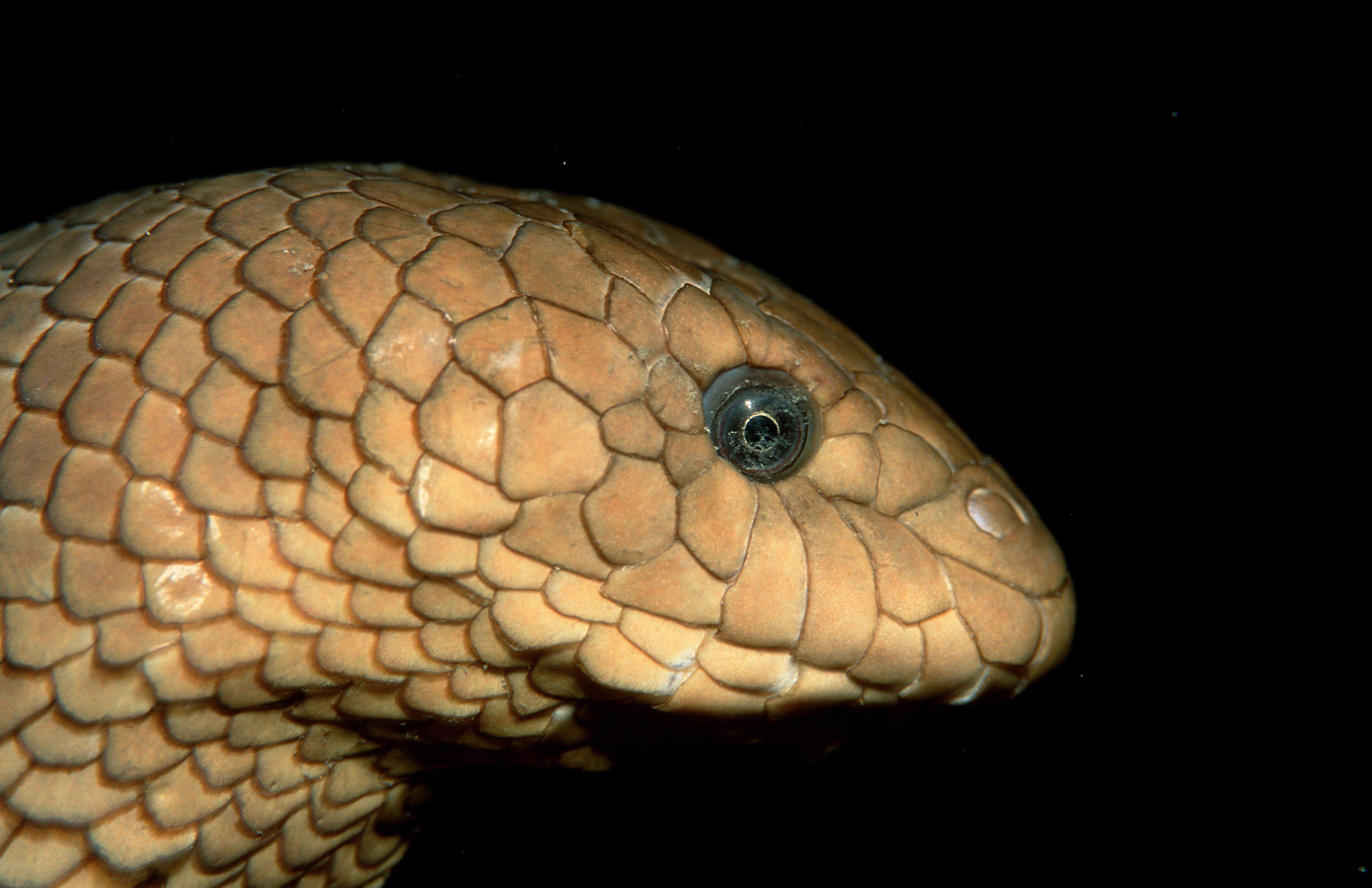 Olive sea snake, Hydrophiidae, Pacific ocean, Papua New Guinea